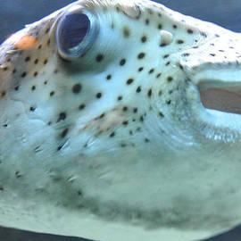 Amber Davenport - Puffer Fish