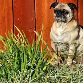 Diane Lent - Pug by a fence