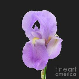 Scott Cameron - Purple Iris