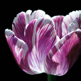 Rona Black - Purple and White Marbled Tulip