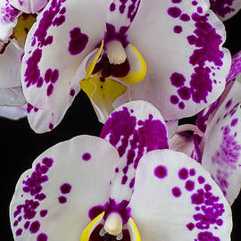 Garry Gay - Purple and white orchids
