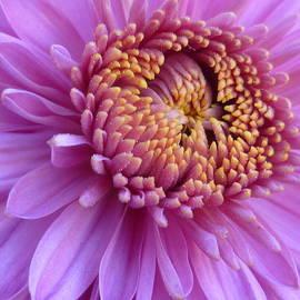 Lingfai Leung - Purple Autumn Mum
