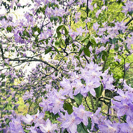 Priya Ghose - Purple Azalea Explosion