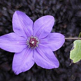 Jean Macaluso - Purple Beauty
