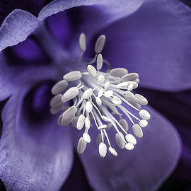 Julie Palencia - Purple Burst of  White Columbine