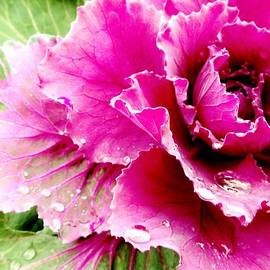 Sarah Pemberton - Purple Cabbage
