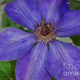 Janice Rae Pariza - Purple Clematis