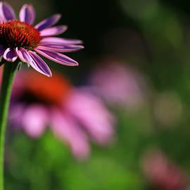 Rachel Cohen - Purple Coneflower Dream