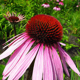 J L Kempster - Purple Coneflower
