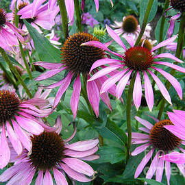 Kerstin Ivarsson - Purple coneflowers