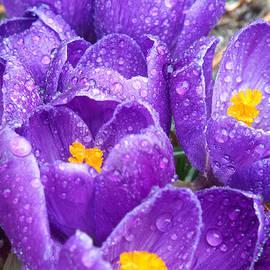 Dianne Cowen - Purple Crocus in Spring
