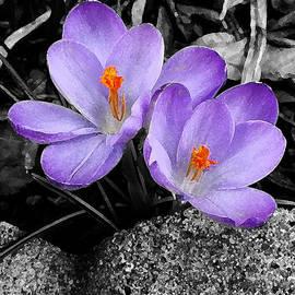Richard Andrews - Purple Crocuses - f2g