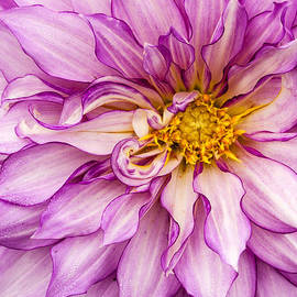 Jean Noren - Purple Dahlia