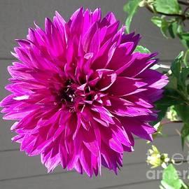 Kimberly Cartier - Purple Dahlia