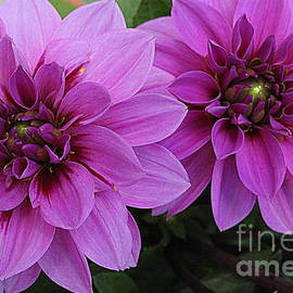 Dora Sofia Caputo Photographic Art and Design - Purple Dahlias