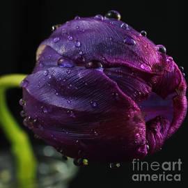 Wobblymol Davis - Purple Delight