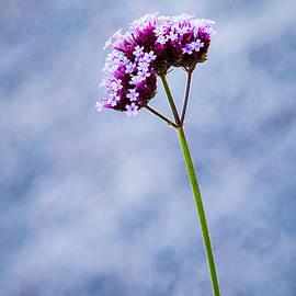 Alexander Senin - Purple Flower