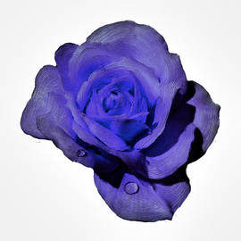 Bruce Nutting - Purple HDR Rose