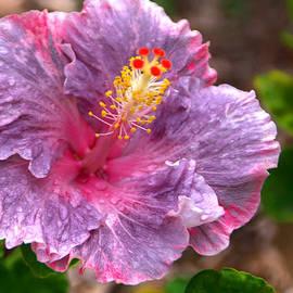 Brian Harig - Purple Hibiscus