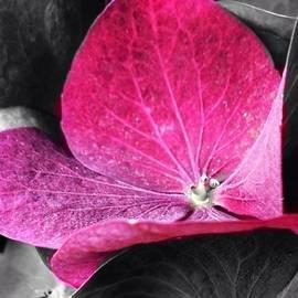 Cristina Stefan - Purple Hydrangea