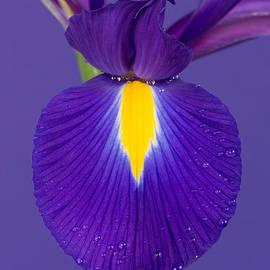 Mark Monckton - Purple Iris