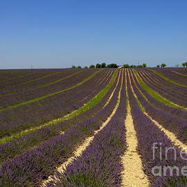 Bart De Rijk - Purple lavender fields converging
