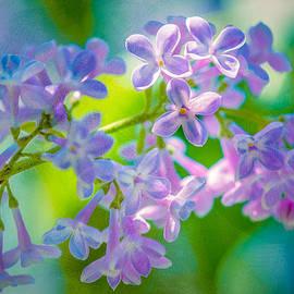 Alexander Senin - Purple Lilac Flowers