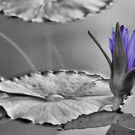 Don Schwartz - Purple Lily