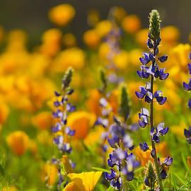 Saija  Lehtonen - Purple Lupine and Golden Poppies