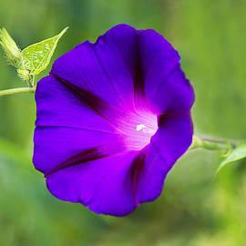 Marina Kojukhova - Purple  Morning Glory