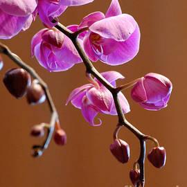 Glenn Morimoto - Purple Moth Orchid Profile
