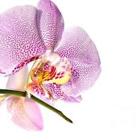 Martin Capek - Purple Orchid