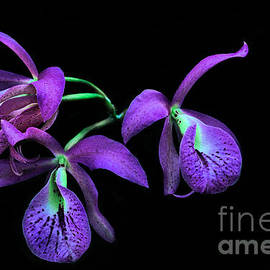 Peter Lessey - Purple Orchid On Black
