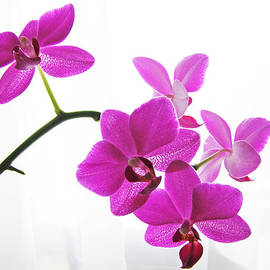 Jane Schnetlage - purple orchids II