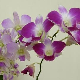 Patricia Strand - Purple Orchids