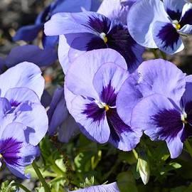Sonali Gangane - Purple Pansies