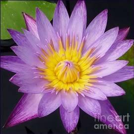 Susan Garren - Purple Starburst Water Lily