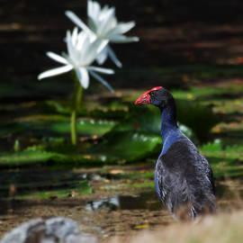 Mr Bennett Kent - Purple Swamphen Admiring the water lilies