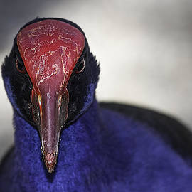 Mr Bennett Kent - Purple Swamphen portrait