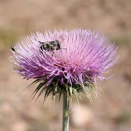 Michelle Elaine Smith - Purple thistle pollinator