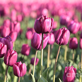 Carol Groenen - Purple Tulips Standouts