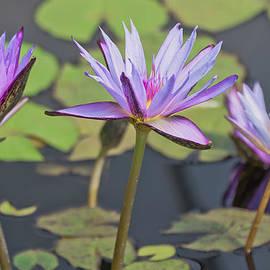 Beth Wolff - Purple Waterlilies