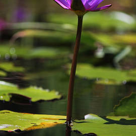 Suzanne Gaff - Purple Water Lily II