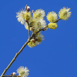 Chris Smith - Pussy Willow Catkins