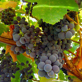 Pyrenees Winery Grapes