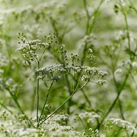 Jouko Lehto - Queen Annes lace