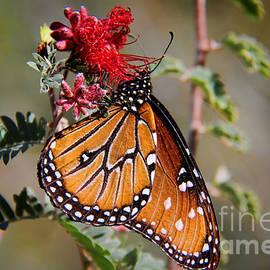 Mariola Bitner - Queen Butterfly