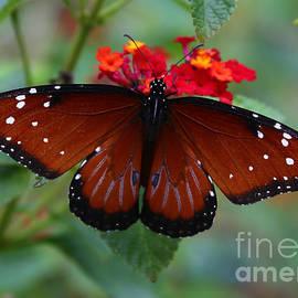 Marty Fancy - Queen Butterfly