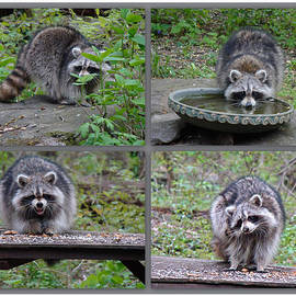 Mother Nature - Raccoon Antics