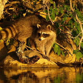 James Peterson - Raccoon at Dusk